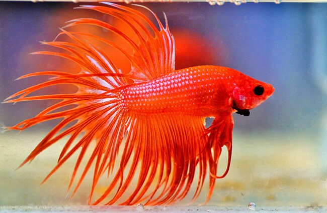 Orange Veil Tail Betta showing off his fiery colorsPhoto by: Iva Balk (from Pixabay)https://pixabay.com/photos/betta-warrior-aquarium-fishy-male-3494579/