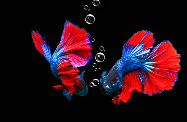 A stunning Betta seen in reflection Photo by: Cuong Nguyen (from Pixabay) https://pixabay.com/illustrations/macro-betta-fish-nature-animals-4639396/