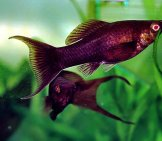 Pretty Black Molly In A Home Aquariumphoto By: Marrabbio Cc By-Sa 3.0 Http://creativecommons.org/licenses/by-Sa/3.0/
