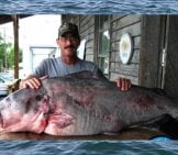 World Record Blue Catfish At 130 Lbs. Photo By: Www.learntocatchcatfish.com Https://creativecommons.org/licenses/by-Nd/2.0/