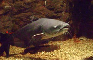 Large Blue CatfishPhoto by: forgotton0001 CC BY 2.0 https://creativecommons.org/licenses/by/2.0