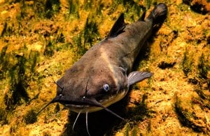 White Bullhead at Blue Springs State Park, FloridaPhoto by: Phil's 1stPixhttps://creativecommons.org/licenses/by/2.0/