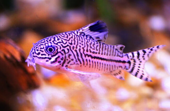 Corydora Catfish Photo by: Bob Jenkins https://creativecommons.org/licenses/by/2.0/