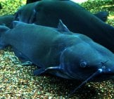 A Pair Of Channel Catfish Photo By: Ryan Somma Https://creativecommons.org/licenses/by/2.0/