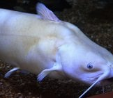 This White-Colored Channel Catfish At The North Mississippi Fish Hatchery. Photo By: Rebecca M. Krogman, U.s. Fish And Wildlife Service Southeast Region Https://creativecommons.org/licenses/by/2.0/
