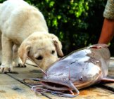 Lab Puppy With Channel Catfishphoto By: (C) Chokniti Www.fotosearch.com