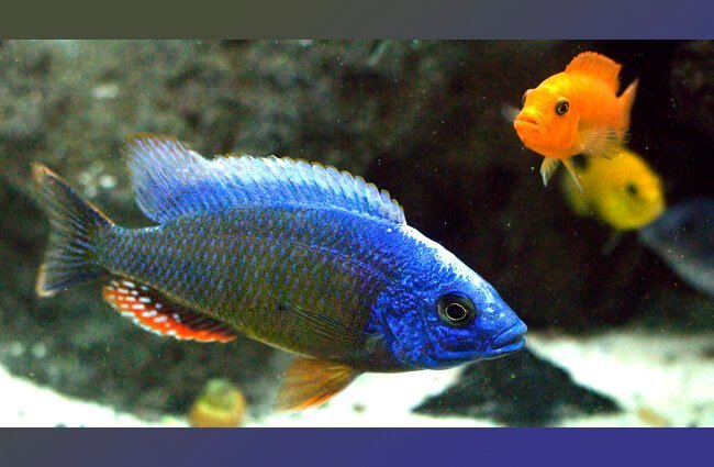 African Cichlid in a home aquarium Photo by: C Watts https://creativecommons.org/licenses/by-sa/2.0/