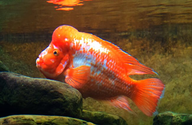 Midas cichlid, which ranges from Nicaragua to Costa Rica Photo by: Mark Mauno https://creativecommons.org/licenses/by-sa/2.0/