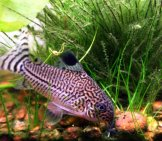 Leopard Catfish, Also Known As The Julii Cory Photo By: Elcynico Https://Creativecommons.org/Licenses/By-Sa/2.0/