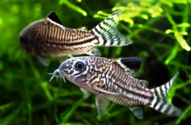A pair of Julii Cory catfish in an aquarium Photo by: elcynico https://creativecommons.org/licenses/by-sa/2.0/