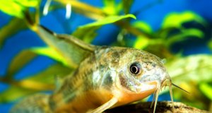 Aquarium Catfish, cory catfishPhoto by: (c) neryx www.fotosearch.com