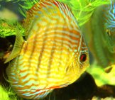 Beautiful Yellow-Colored Discus Photo By: Laura Wolf Https://Creativecommons.org/Licenses/By/2.0/
