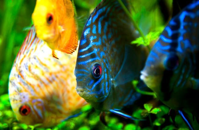A gathering of Discus in various colors Photo by: V.v https://creativecommons.org/licenses/by/2.0/