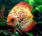 Discus On Display At The Honolulu Aquarium Photo By: Bernard Spragg. Nz Https://creativecommons.org/licenses/by/2.0/