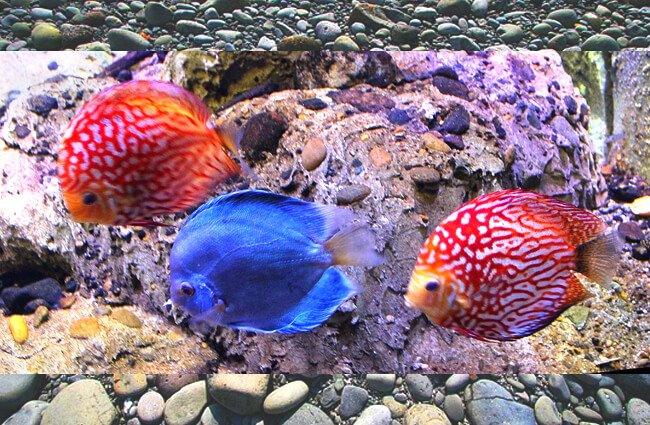 A pair of Red Pigeon Blood Discus and a Blue Diamond Discus Photo by: Abi Skipp https://creativecommons.org/licenses/by/2.0/