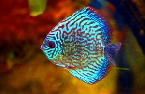 Green Discus, a tropical fish Photo by: cuatrok77https://creativecommons.org/licenses/by/2.0/