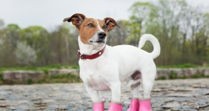 dog boots by: Fotosearch.com