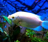 Kissing Gourami Photo By: Mikesoft98 Https://creativecommons.org/licenses/by-Nd/2.0/