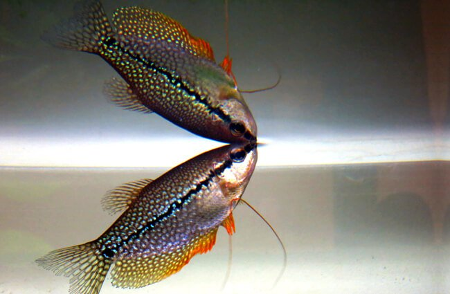 Pearl Gourami Photo by: Leigh Harries https://creativecommons.org/licenses/by-nd/2.0/