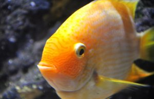 Closeup of a yellow-colored Gourami Photo by: Adrian Mohedanohttps://creativecommons.org/licenses/by-nd/2.0/