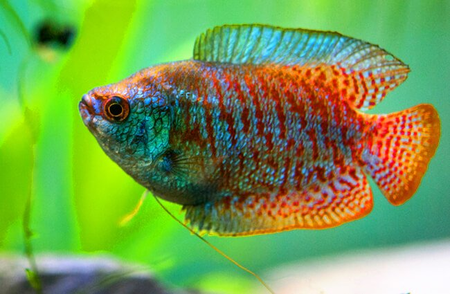 A pretty Gourami in profile https://creativecommons.org/licenses/by-nd/2.0/