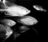 Black And White Photo Of Several Gourami Photo By: James Hartshorn Https://creativecommons.org/licenses/by-Nd/2.0/
