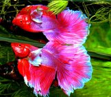 The Betta Fish Is One Species Of The Gourami Photo By: Oranda (From Pixabay) Https://pixabay.com/photos/betta-Splendens-Siam-Fighter-Fish-1514394/