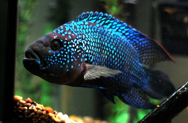 Another blue-colored Dempsey Photo by: Jason Wolff https://creativecommons.org/licenses/by/2.0/