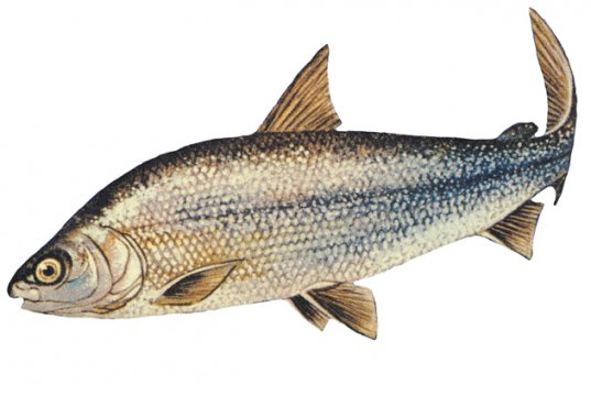 Lake Whitefish drawingPhoto by: NOAA Great Lakes Environmental Research Laboratoryhttps://creativecommons.org/licenses/by-sa/2.0/
