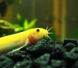 Golden Dojo Loach Photo By: Lauren Anderson Https://Creativecommons.org/Licenses/By-Nd/2.0/