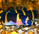 Kuhli Loach On The Rocky Bottom Of An Aquarium Photo By: Aj Cann Https://Creativecommons.org/Licenses/By-Nd/2.0/