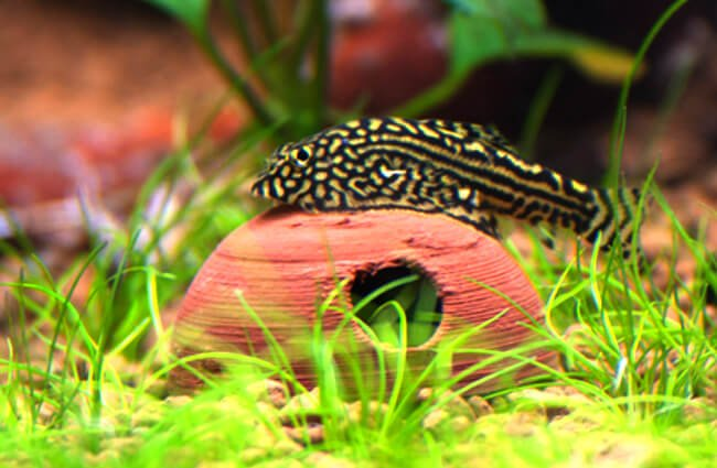 Gold Ring Butterfly Loach Photo by: Mark Hanford https://creativecommons.org/licenses/by-nd/2.0/