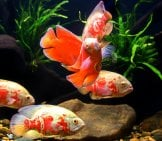 School Of Marbled Cichlids Photo By: (C) Titipong Www.fotosearch.com