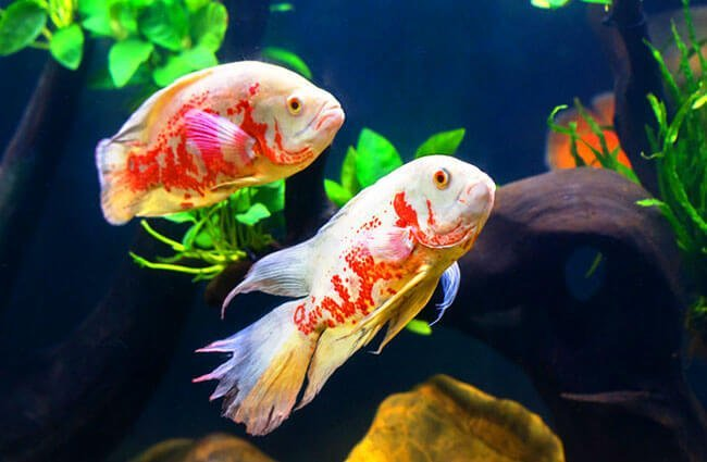 A pair of Albino OscarsPhoto by: (c) titipong www.fotosearch.com