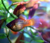 Platyfish In A Home Aquarium Photo By: Allie_Caulfield Https://creativecommons.org/licenses/by/2.0/