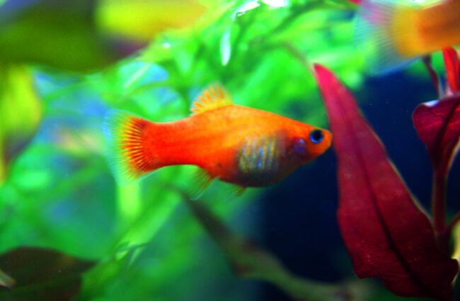 Gold colored Platy Photo by: Allie_Caulfield https://creativecommons.org/licenses/by/2.0/