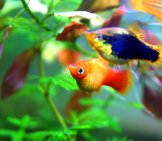 Platies In A Home Aquarium Photo By: Allie_Caulfield Https://creativecommons.org/licenses/by/2.0/