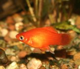 Marygold Platy Photo By: (C) Tdietrich Www.fotosearch.com