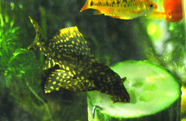 Pleco eating a slice of cucumber Photo by: Peter Harrison https://creativecommons.org/licenses/by/2.0/