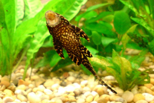 Pleco feeding from the wall of a home aquariumPhoto by: John Blackmorehttps://creativecommons.org/licenses/by/2.0/