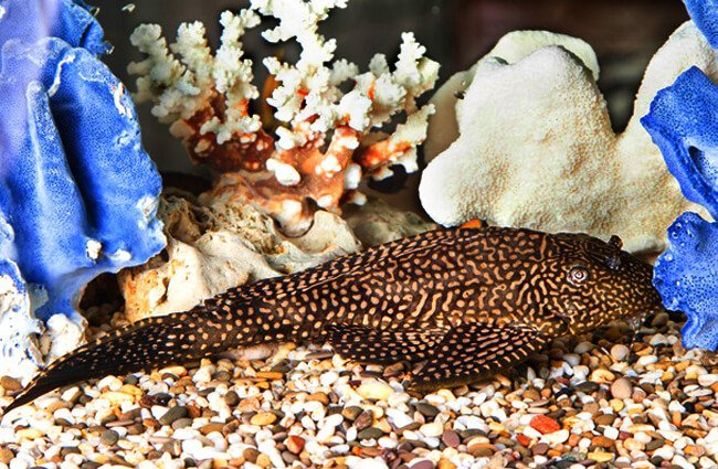 Pleco resting on the bottom of the tank. Photo by: (c) photozi www.fotosearch.com