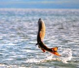 Chum Salmon Leaping From The Waterphoto By: K. Mueller, U.s. Fish And Wildlife Service Headquartershttps://Creativecommons.org/Licenses/By/2.0/