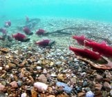 Red Spawning Sockeye Salmon Photo By: D. Young, Lake Clark National Park & Preserve Https://creativecommons.org/licenses/by/2.0/