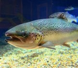 An Adult Atlantic Salmon At Maritime Aquarium Photo By: Maritime Aquarium At Norwalk Https://creativecommons.org/licenses/by/2.0/