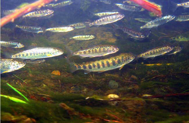 Chinook Salmon are endangered and threatened Photo by: Dan Cox, U.S. Fish and Wildlife Service Headquarters https://creativecommons.org/licenses/by/2.0/