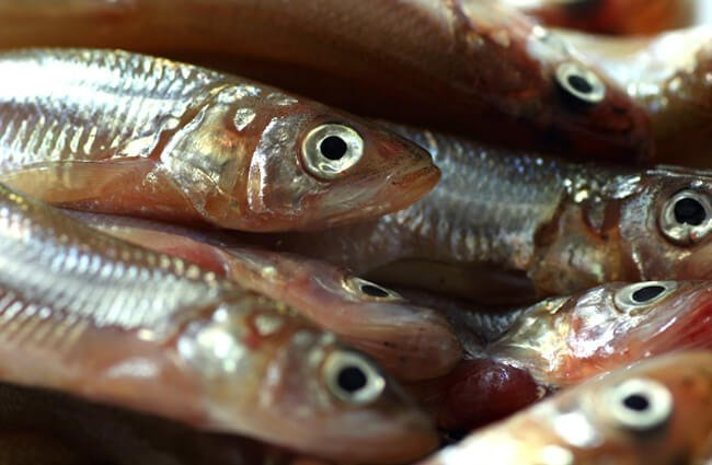 Fresh Jack Smelt at a local market Photo by: John Loo https://creativecommons.org/licenses/by/2.0/