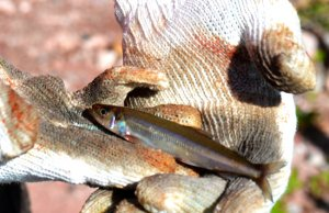 Non-native Rainbow SmeltPhoto by: Mara Koenig, USFWS Midwest Regionhttps://creativecommons.org/licenses/by/2.0/