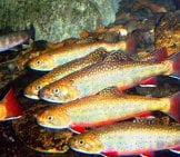 Brook Trout Thrive In Cold Water Photo By: U.s. Fish And Wildlife Service Southeast Region Https://creativecommons.org/licenses/by/2.0/