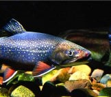 Eastern Brook Trout Photo By: U.s. Fish And Wildlife Service Northeast Region Https://creativecommons.org/licenses/by/2.0/