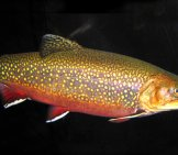 Coaster Brook Trout Photo By: James St. John Https://creativecommons.org/licenses/by/2.0/